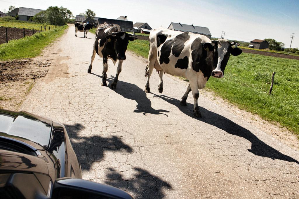 Polish Cows