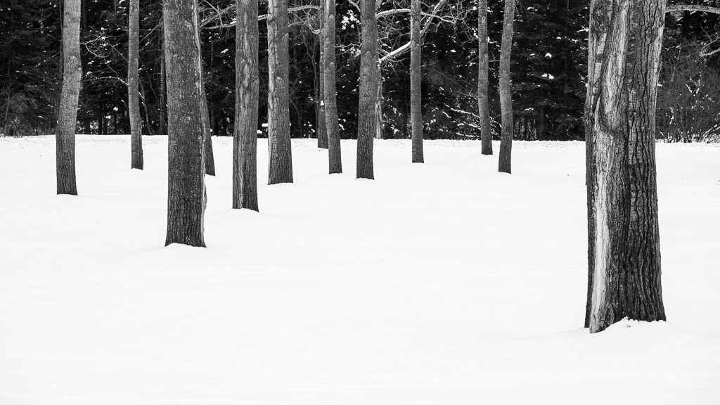 Bowness Park Poplars In Snow 1