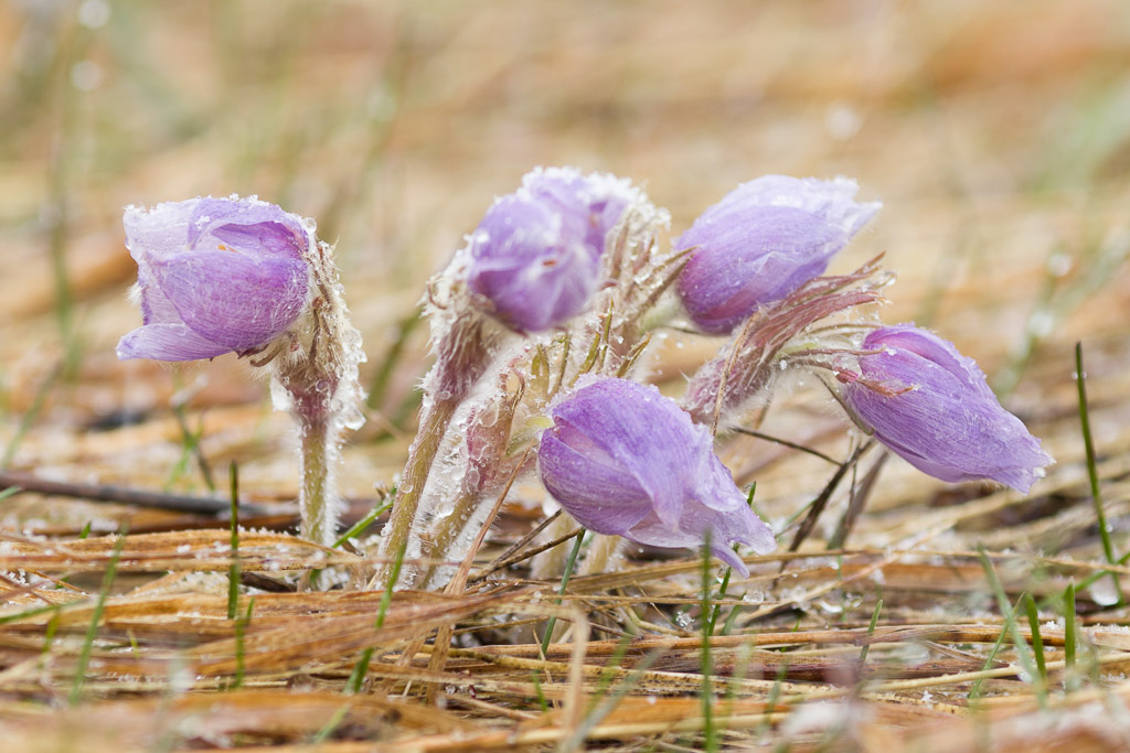 Prairie Crocuses During Spring Snow Shower