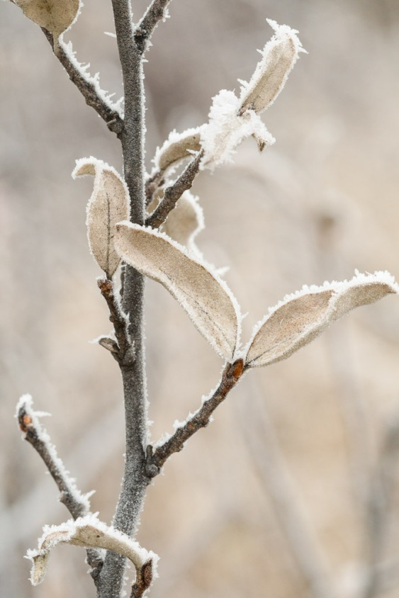 Wolf Willow With Hoar Frost