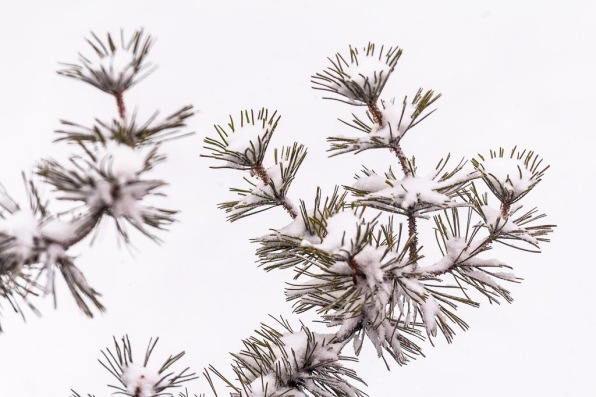 Pine Tree Branches In Snow