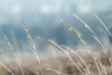 Backlit Frosty Grass