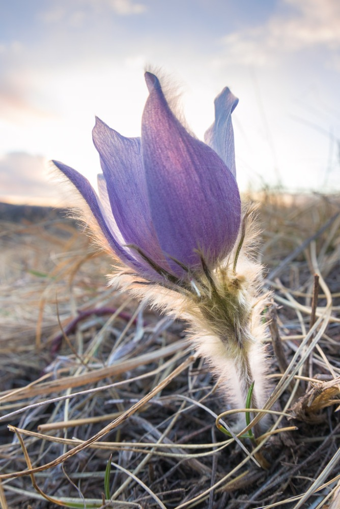 Prairie Crocus at Sunset