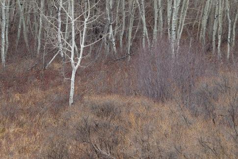 Aspen Forest Edge