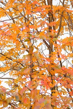 Mountain Ash In Autumn