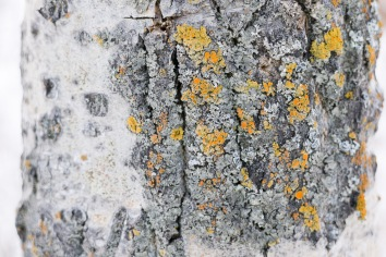 Aspen Bark and Lichen