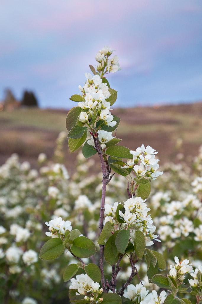 Saskatoon Berry Blossoms